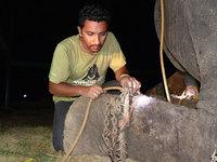 Индийский слон Раджу после 50 лет рабства