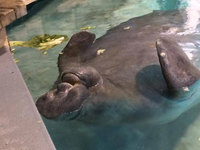 Туристы поздравляют самого старого в мире ламантина Снути из Флориды