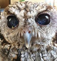 Глаза этой совы сделали ее звездой интернета, но причина такого взгляда весьма печальна...