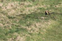 Детеныш ласки совершил незабываемый полет на спине дятла
