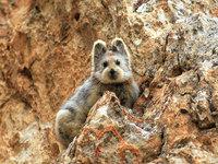 """Этого редкого """"волшебного кролика"""" удалось снять впервые за 20 лет и вскоре он исчезнет навсегда"""