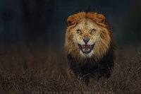 Фотограф запечатлел разъяренного льва за секунду до того, как тот бросился на него