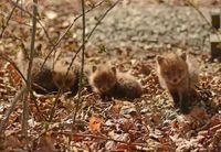 Отец и дочь обнаружили крошечных лисят на заднем дворе своего дома