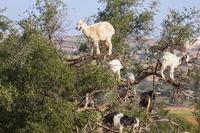 Марокканские козы, которые лазают по деревьям