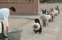 Дисциплине китайских полицейских собак можно только позавидовать!