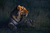 Тигры — дикий животный магнетизм в 20 потрясающих фотографиях