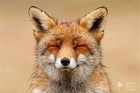 13 снимков очаровательных лис, которые умеют наслаждаться жизнью
