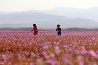 Ты не поверишь, но это цветочное поле еще недавно было самой сухой пустыней на планете!