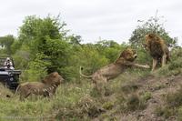 Битва африканских львов