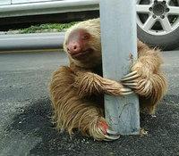 Полицейский спас крошечного испуганного ленивца, оказавшегося на огромном шоссе