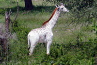 Редкий белый жираф был обнаружен в Танзании