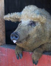 Знакомьтесь с лохматой свиньей, которая выглядит как овца, а ведет себя как собака!