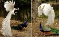 9 поразительных снимков павлинов в полете