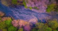 Цветы сакуры опали в озеро, превратив Токио в сказку!