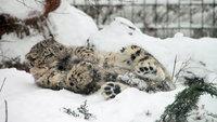 12 забавных снимков снежных барсов, поедающих собственные хвосты