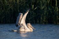 В гостях у пеликанов