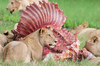 22 будоражащих кровь снимка, на которых животные едят животных