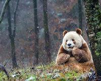 Невероятная история о единственной в мире коричневой панде