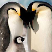 Самые милые кадры уходящего года: любовь и нежность императорских пингвинов