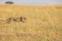 Съемка гепарда в дикой природе