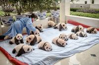 13 невероятных фотографий о том, как проходят будни в центре по выращиванию панд