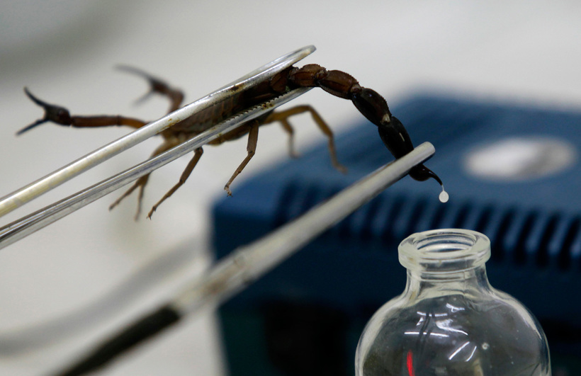 Марокканские ученые изобрели «доильный аппарат» для скорпионов