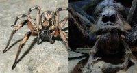 Ученые нашли прототип паука Арагога из «Гарри Поттера»