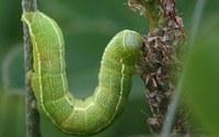 Некоторые растения заставляют гусениц есть друг друга