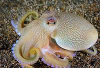 Почему у осьминогов голубая кровь