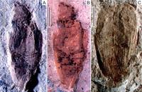 Ученые восстановили внешний вид жука пермского периода