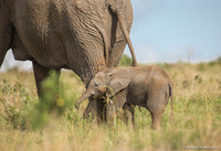 Факты о слонах, которые вас удивят
