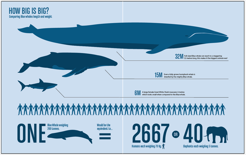 Whale shark size comparison to bus