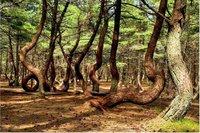 Деревья тоже хотят танцевать: почему стволы бывают изогнутыми