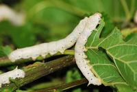 Гусеницы шелкопряда помогут ученым получить сверхпрочную нить