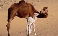 Как верблюды выживают в пустыне: все гораздо совершеннее, чем просто жир в горбах