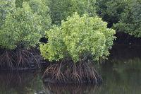 Мангровые леса: уникальные экосистемы в опасности