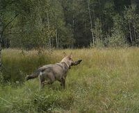 19 фото животных, которые теперь живут в Чернобыле