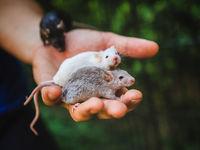 Как выглядят крысы и мыши, на которых ставили эксперименты в лабораториях
