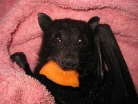 Спасенная из-под колес автомобиля летучая лисица, поедающая банан, порадует любого