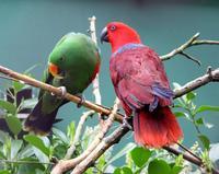 Странная парочка: благородные зелено-красные попугаи и хитрости в период размножения