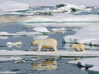 Остров Врангеля — заповедная земля, где рождается больше всего белых медвежат в мире