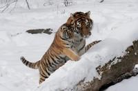 Хозяин уссурийской тайги: сколько амурских тигров осталось в России