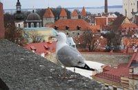 Местная достопримечательность - чайка Патрик