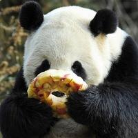 Откуда у панды 6 пальцев на лапах и другие интересные факты о бамбуковом медведе