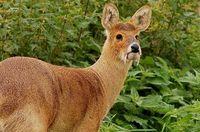 Кабарга: зачем травоядному животному такие мощные клыки