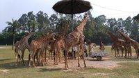 Жирафы и люди, сафари-парк