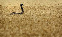 Проигранная война: как австралийская армия сражалась со страусами