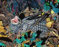 Американский козодой: единственная птица, которая на зиму впадает в спячку