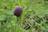 Цветок рябчик, Студенческая поляна, Абхазия