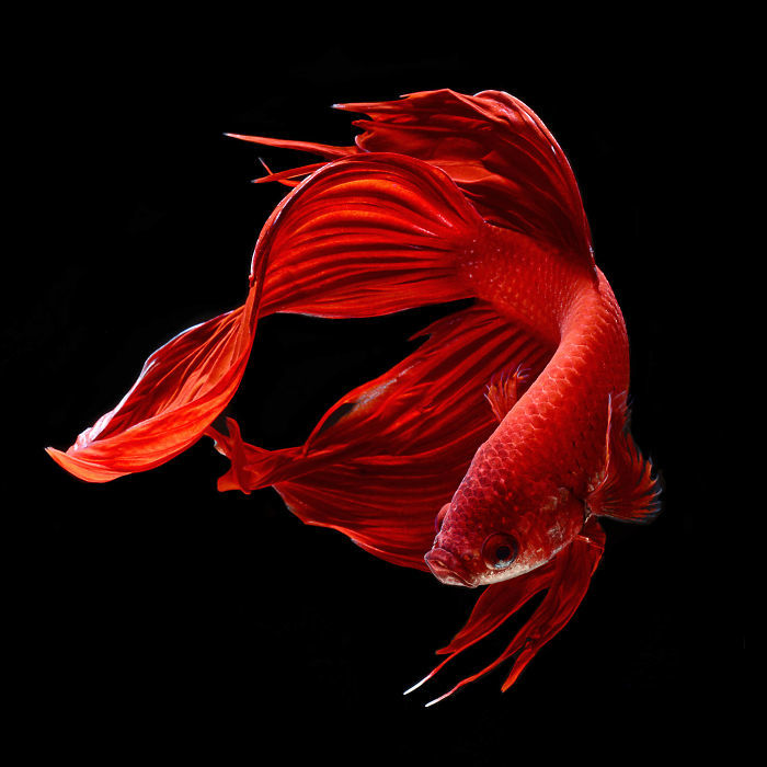 Красота планеты и удивительные пейзажи The-Elegant-And-Fantastic-Poses-Of-Aquarium-Fish-Captured-By-A-Thai-Photographer-5b713a1b2096d__700